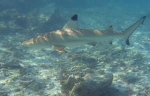 Blacktip reef shark - juodapelekis rifinis ryklys
