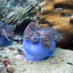 Povandeninis grožis: žuviuko Nemo rožinis pusbrolis
