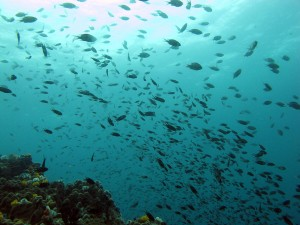 Tūkstantinis žūvų pulkas vandenyno begalybėje